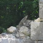 Iguana visiting the ruins